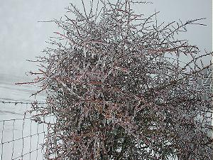 Ice coated Tree